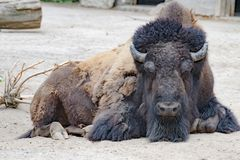 Bison - American Buffalo- Zoo Cologne Stock Photography