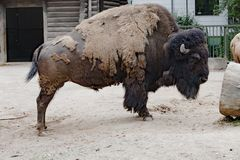Bison - American Buffalo - in Zoo Cologne Royalty Free Stock Photos