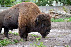The bison American costs in the shelter of a zoo.  Stock Photos