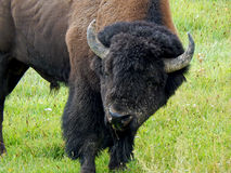 The Bison Stock Photography