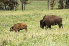 Bison amerikansk buffel` för ` i South Dakota arkivfoto