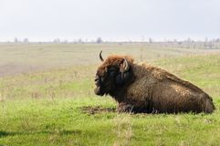 bison Bison américain de mâle alpha photo stock