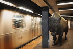 Bison Animal Waiting for City Subway Commute Royalty Free Stock Images