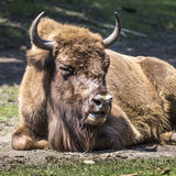 Bison - animals that live in nature reserves in Europe Stock Photo