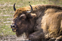 Bison - animals that live in nature reserves in Europe Stock Images