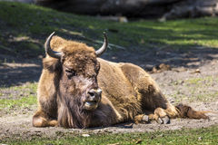 Bison - animals that live in nature reserves in Europe Royalty Free Stock Photography