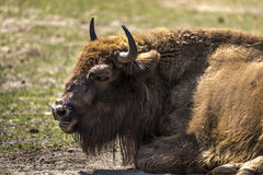 Bison - animals that live in nature reserves in Europe Royalty Free Stock Image