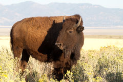 Bison on Antelope Island Royalty Free Stock Photography