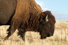 Bison auf Antilopen-Insel Stockfoto