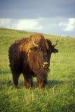 Bison auf dem Grasland Stockfotos