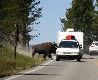 Bison auf dem Weg, Yellowstone Nationalpark Stockbilder