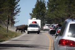 Bison auf der Straße Stockfotografie