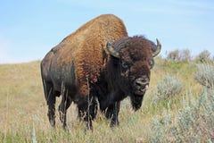Bison auf Grasland Stockbild