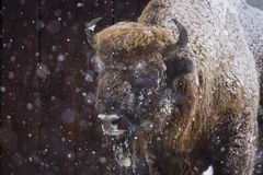 Bison or Aurochs in winter season in there habitat. Beautiful snowing.  stock images