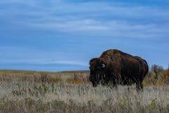 Bison av Theodore Roosevelt National Park arkivfoto