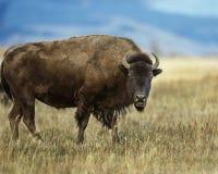 Bison avec son regarder ouvert de bouche fixement l'appareil-photo photo libre de droits