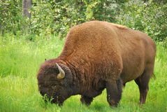 Bison (Büffel) Lizenzfreie Stockfotos
