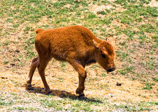 Bison Baby Royalty Free Stock Photos