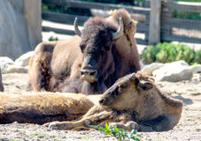 Bison baby and mom Stock Images