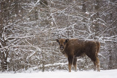 Bison baby in winter day in the snow Royalty Free Stock Image