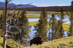 Bison Background imagens de stock royalty free