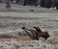 Bison Backrub Imagem de Stock Royalty Free