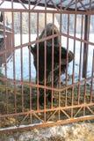 Bison bak staketet Royaltyfri Bild