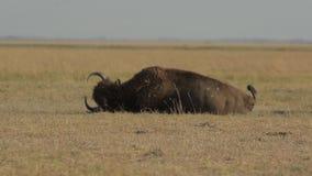 Bison Bathes In Dust sauvage banque de vidéos