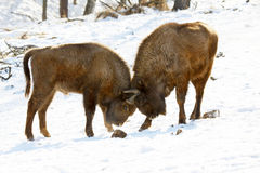 Bison battle Royalty Free Stock Image