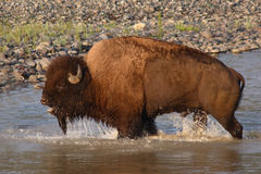 Bison Bawling in the River Stock Images
