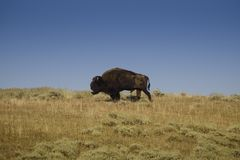 Bison beard Royalty Free Stock Images