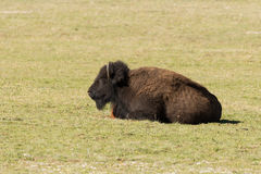 Bison Bedded Stock Images