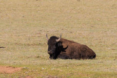 Bison Bedded in Meadow Royalty Free Stock Image