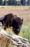 Bison Behind Rock. American Bison peering around rock in Yellowstone National Park, Wyoming stock photos