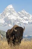 Bison bei großartigem Teton lizenzfreie stockfotos