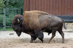 Bison at the Berlin zoo Royalty Free Stock Image
