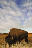 Bison with big sky background. North American Bison grazing with a big, blue, cloudy sky behind him Royalty Free Stock Photo