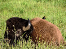 Bison and bird. A bull bison relaxes in a grassy meadow while his avian companion rests atop him Stock Photos