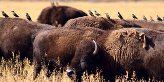 Bison and Birds. Panoramic photo of a bison herd with cattle birds lined up on their backs. Grand Teton National Park stock photography