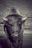 Bison Bison lizenzfreies stockbild