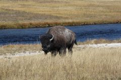 The Bison, Bison bison. Mammal in the Yellowstone Nat. Park stock photography
