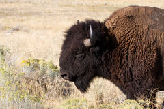Bison, Bison bison Royalty Free Stock Photo