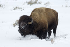 Bison, Bison bison, Stock Images