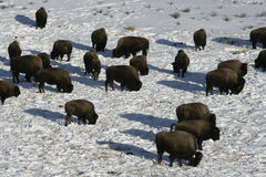 Bison, Bison bison, Royalty Free Stock Photography