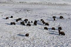 Bison, Bison bison, Stock Image