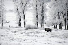 Bison, Bison bison, Stock Images