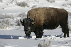 Bison, Bison bison, Royalty Free Stock Images