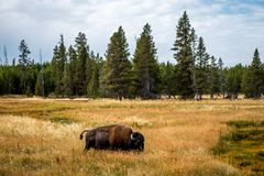 Free Bison Bison Buffalo Wildlife And The  Landscape Nature In Yellowstone National Park In Wyoming , United States Of America Stock Images - 168008914