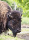 Close portrait of a buffalo. Bison bison is a species of the Bovidae family Stock Images