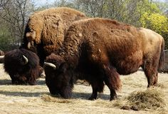 Bison bison - two bisons eating royalty free stock images